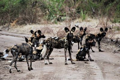 group of wild dog