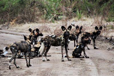 group of wild dog