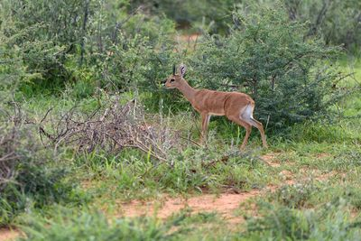 dik dik in the bush