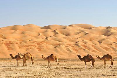 Camels in Oman desert