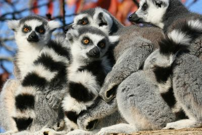 a group of lemurs