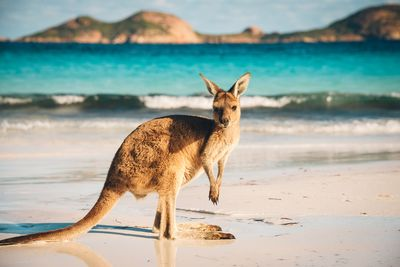 a kangaroo on a beach