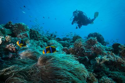 scuba diving in the Azores' coral reefs