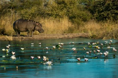 a hippo on a river bank