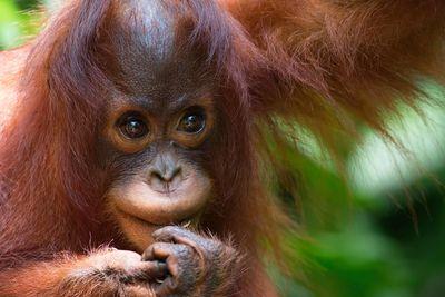 borneo orangutan baby