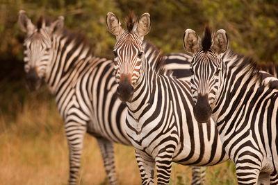 zebras lake mburo uganda