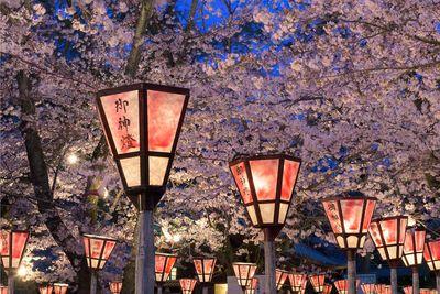 Japan cherry blossom at night
