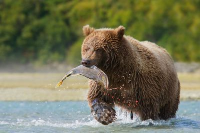 Bear in British Columbia, Canada