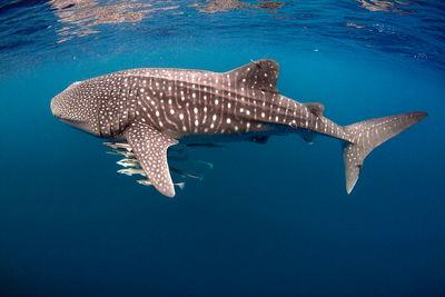 Whale shark, Australia