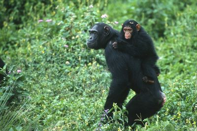 Ugunga young chimpanzees