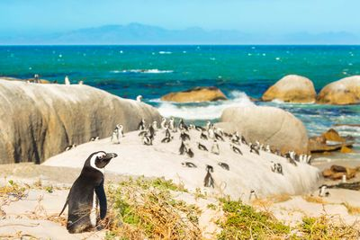 african penguins south africa