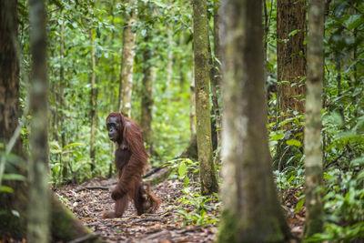Orangutans with Cub