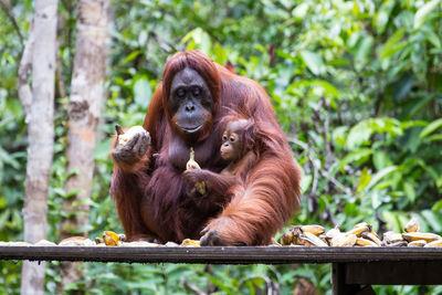 Orangutan Eating Food