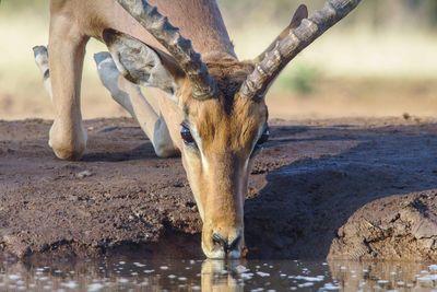 antelope drinking