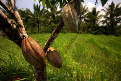 Bali cacao plantation