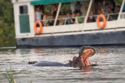 boat trip zambia zambezi river hippo