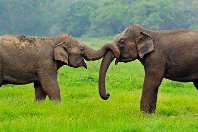 elephants stroking trunks