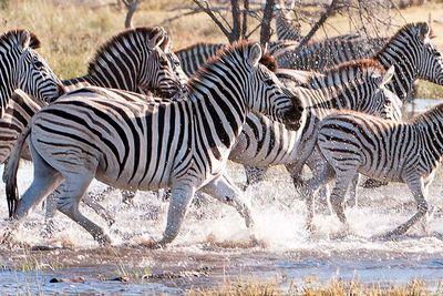 Zebra migration