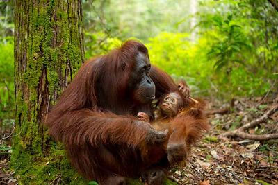 mother and baby orangutans indonesia