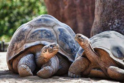creep of galapagos tortoises