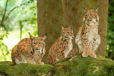 Lynx in Transylvania