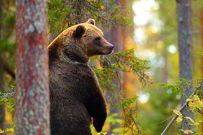 Brown Bear Northern Spain
