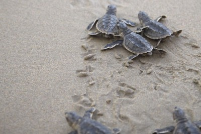 green_turtles_oman