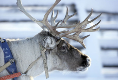 image of a reindeer