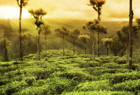 View across a Sri Lanka Tea Plantation
