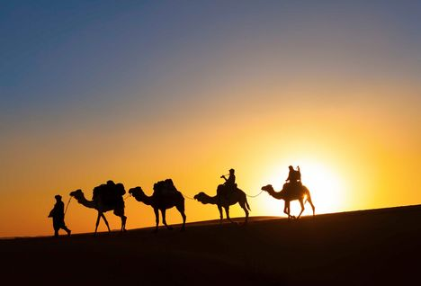 camels at sun down in the desert