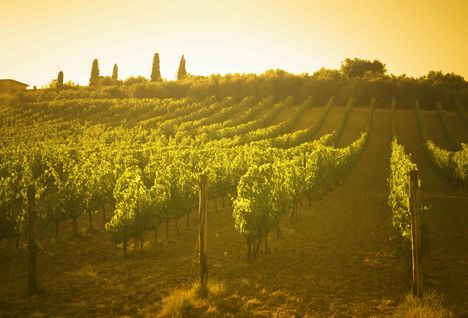 View of vineyard in Tuscany