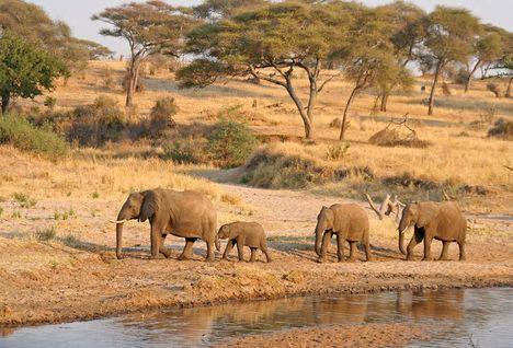 Elephants in Tanzania