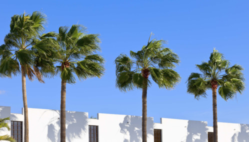 Palms Against Blue Sky in the Canary Islands