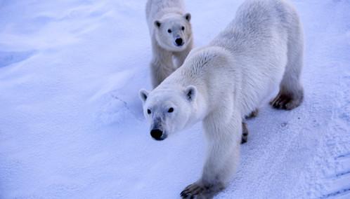 Churchill Polar Bears
