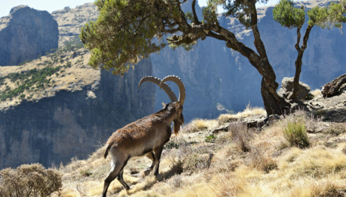 Mountain Goat in the Ethiopian Highlands
