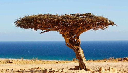 Musandam tree in desert