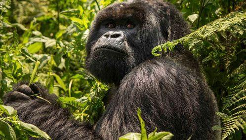 Rwandan silverback