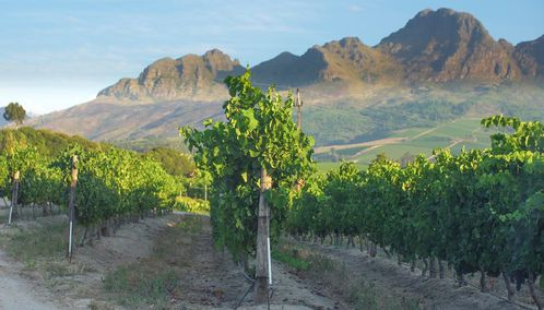 Vines in the Cape Winelands