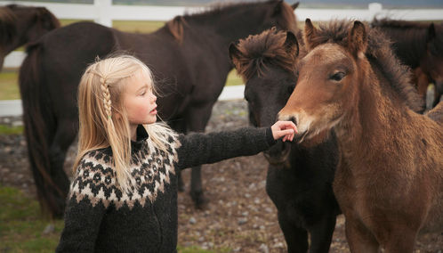 Iceland pony with young girl
