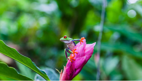 Frog on flower in Costa Rica