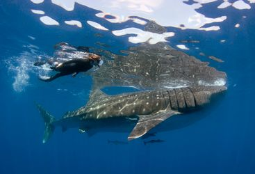Snorkel Whale Shark, Mexico
