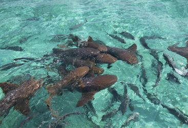 Belize Nurse Sharks