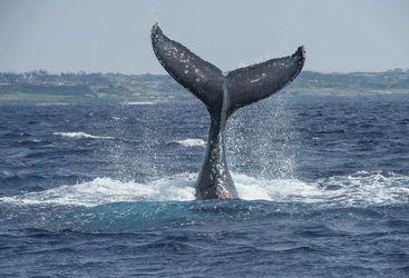 Whale, Brazil