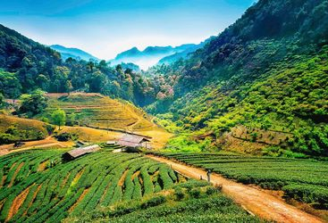 Tea Plantation at Ang Khang - Thailand