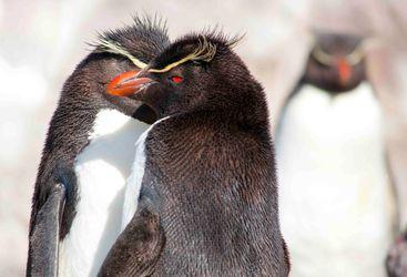 Red Eye Penguin