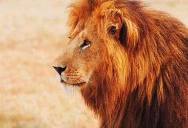 Majestic lion in Southern Kenya