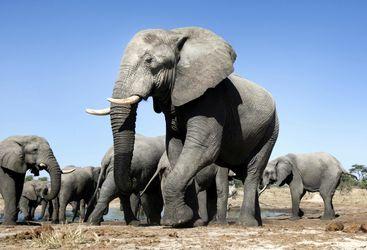 Elephant Heard in Zimbabwe
