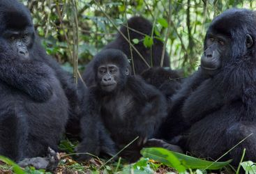 three mountain gorilla