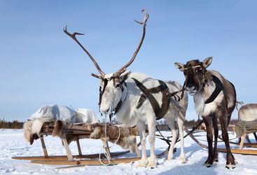 Reindeer Sleigh in Finland