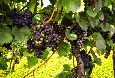 Grapes in a vineyard, Winelands